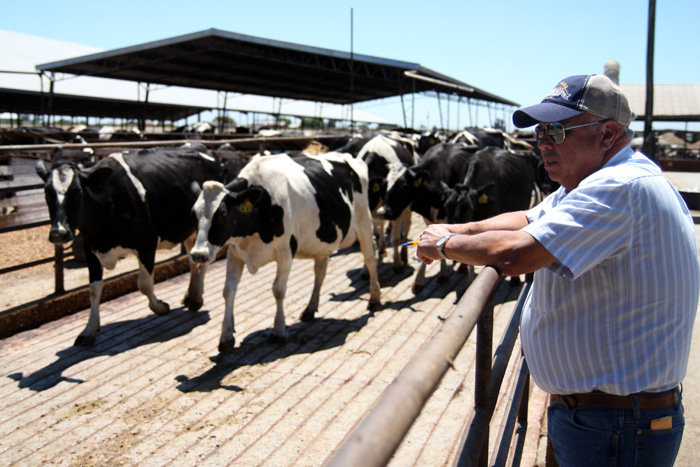 Dairy farmer Ray Souza observes some of his cows on his farm in Turlock, California, July 25, 2011. Souza stopped treating his 900 cows with rBGH in 2007 due to economic reasons. THE RATION/Irmer
