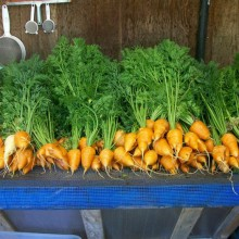 Oxheart carrots grown in the garden. UBUNTU RESTAURANT/Rose Robertson